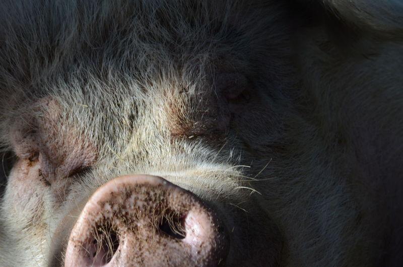 Close-up of pig sleeping