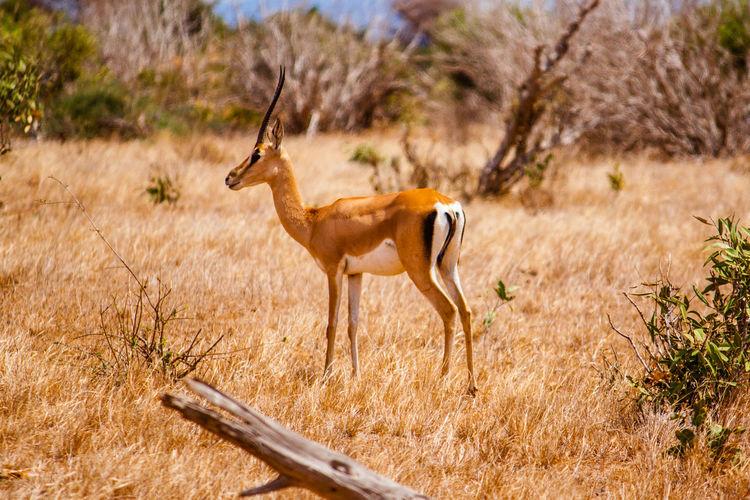 Gazelle standing on field at tsavo east national park
