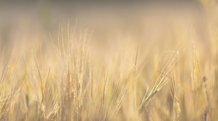 Agriculture Backgrounds Beauty In Nature Cereal Plant Close-up Crop  Day Farm Field Food And Drink Gold Colored Growth Land Landscape Nature No People Outdoors Plant Ripe Rural Scene Rye - Grain Selective Focus Wheat