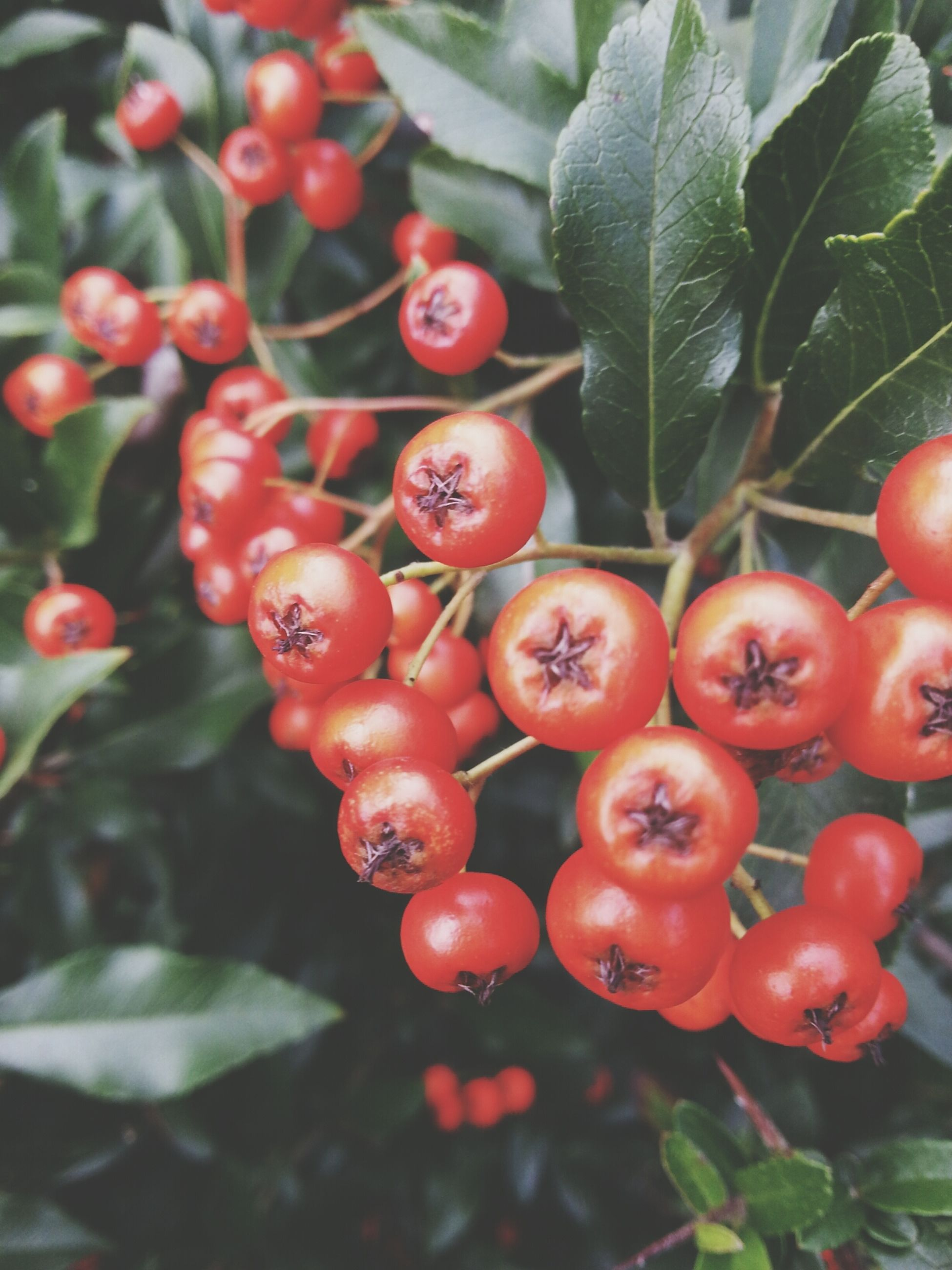 red, food and drink, fruit, freshness, food, healthy eating, growth, leaf, tree, close-up, hanging, ripe, branch, focus on foreground, nature, berry fruit, plant, cherry, green color, day