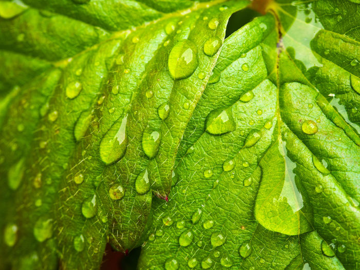 wet Strawberry leaf Green Color Drop Water Leaf Wet Close-up Plant Part Freshness No People Nature Beauty In Nature Outdoors Rain RainDrop Dew EyeEm Nature Lover
