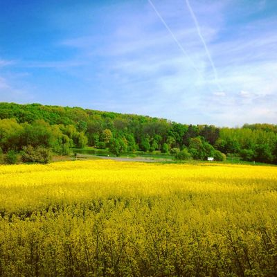 Agriculture Beauty In Nature Blue Cloud Cloud - Sky Day Field Flower Forest Green Color Growth Landscape Nature No People Plant Rapeblossom RapeFlowers Rapeseed Rapeseed Blossom Rapeseed Field Sky Tree Yellow