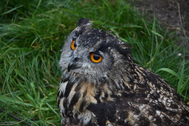 Eagle Owl  Animal Themes Animal Wildlife Animals In The Wild Beak Bird Bird Of Prey Close-up Day Feather  Field Focus On Foreground Grass Looking At Camera Nature No People One Animal Outdoors Owl Portrait
