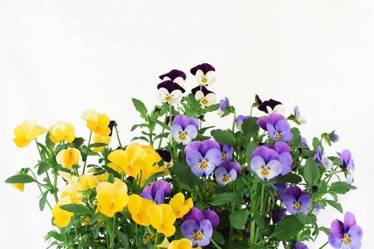 spring flowers on white background Colorful Object Natural Beautiful Spring Flowers Season  Change Floral Blossom Background View Flower Head Flower Multi Colored Petal Purple Rural Scene Leaf Springtime Sky Close-up Flowering Plant In Bloom Petunia Botany Blooming Stamen Plant Life Blossom Wildflower