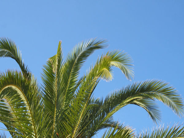 close up of a bright green vibrant tropical palm tree top with fronds against a bright blue summer sunlit sky Tree Top Palm Tree Sunlight Plant Sky Growth Tree Low Angle View Green Color Clear Sky Blue Nature Beauty In Nature Tropical Climate No People Day Palm Leaf Leaf Outdoors Tranquility Copy Space Close-up Tropical Tree