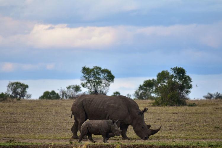Rhinoceros with calf walking on field against sky
