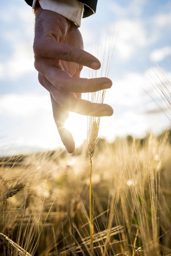 Close-up of hand holding wheat on field against sky