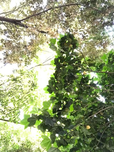 Plant Growth Tree Green Color Nature Day Sunlight Beauty In Nature No People Leaf Branch Outdoors Freshness Sunny