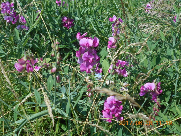 Wild Sweetpea Flowers in the Countryside Fieldscape Smithfield, OH Smithfield, OH 43948 Susan A. Case Sabir Unretouched Photography Countryside Pink Color Pink Flowers Rural Scene Sweatpea Sweetpea  Sweetpea Flowers Sweetpeas Wild Flower Photography Wild Sweetpea Flowers