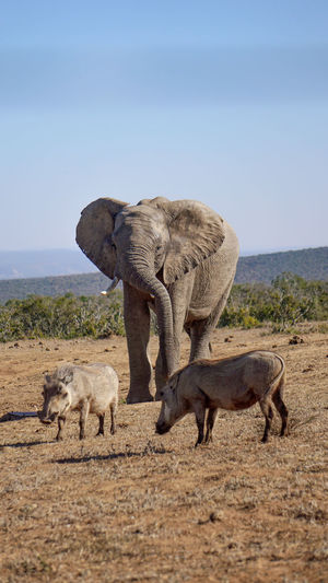 Elephant with warthogs in the savanna