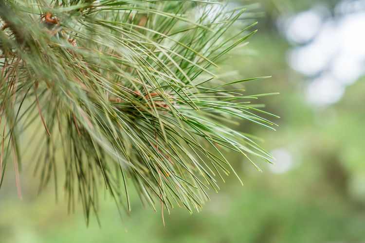 A local close-up of the branches and leaves of pines outside Backgrounds Branch Close-up Environment Fruit Garden Green Landscape Leaf Local Macro Nature Park Pine Branch Plant Planting Site Tree Water Spirits Green Color Growth Beauty In Nature Day Focus On Foreground Pine Tree No People Needle - Plant Part Selective Focus Coniferous Tree Plant Part Outdoors Tranquility Pinaceae Fir Tree Spiky