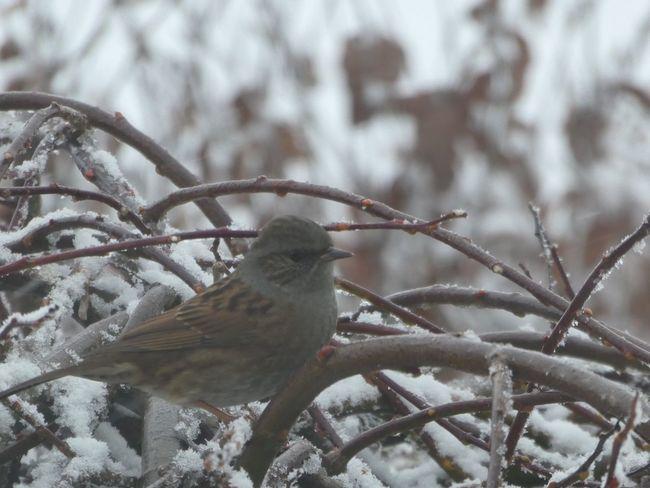 Perching Bird Animals In The Wild Winter Animal Themes One Animal Snow