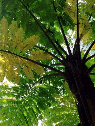 Cyathea latebrosa Tree Fern Nature