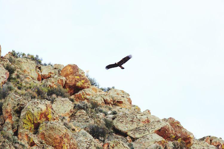 Golden eagle flying Eagle Golden Eaglein Flight Golden Eagle Raptor Bird Bird Of Prey Flying Spread Wings Mid-air Clear Sky Full Length Rock - Object Cliff Steep My Best Photo