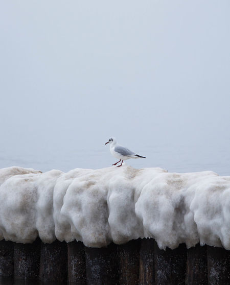 Animal Wildlife No People Outdoors Nature Foggy Weather Beauty In Nature Sea Fog Over Water Balticsea Seagull Foggy Day Foggyweather Foggy Landscape Foggy Morning One Animal Walking Foggy Ostsee Baltic Sea Fog_collection Winter Water Nature Cold Temperature Animal