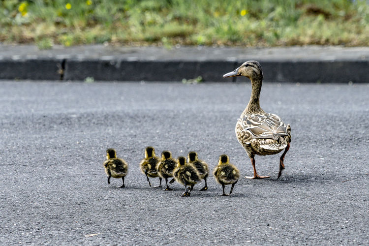 Ducks on road