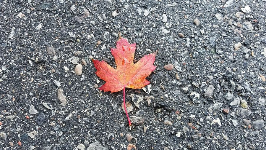 Maple Leaf Outdoors Nature Day Red Fall Colors Autumn Leaf Autumn Colors Autumn Autumn Leaves Leaf Fall Canada Trees Fall Leaves 캐나다 단풍 가을 정서 가을