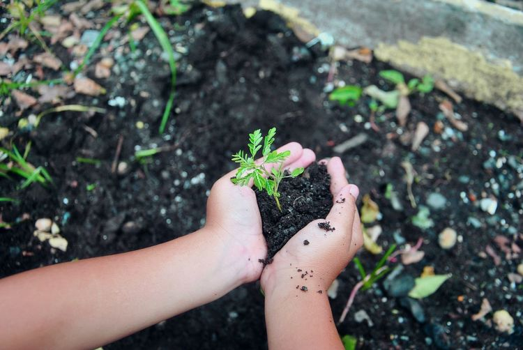 Close-Up Of Human Hands Holding Sapling In Soil