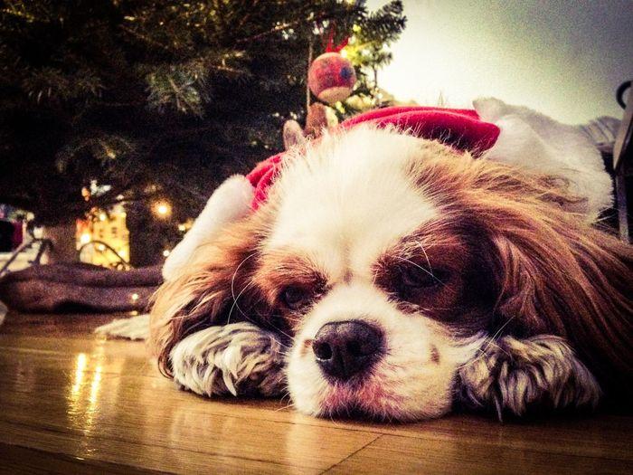 Charlie The Cav Cavlife Cavalier King Charles Spaniel Dog Christmastime 🐶🎄