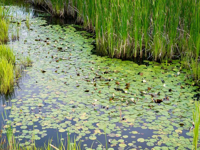 Water Lilies in