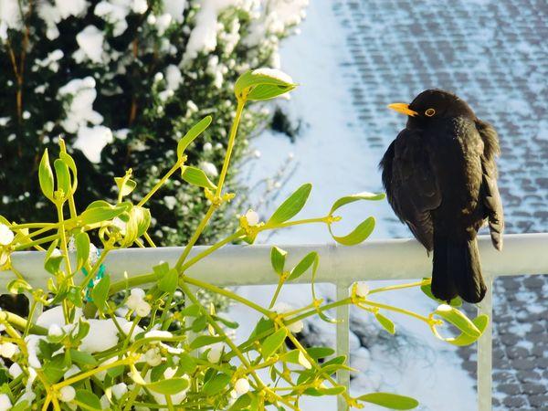 """Die Amsel singt, der Tag erwach."" - Khalil Gibran It's Cold Outside Merle EyeEm Best Shots Nature On Your Doorstep Showcase: January"