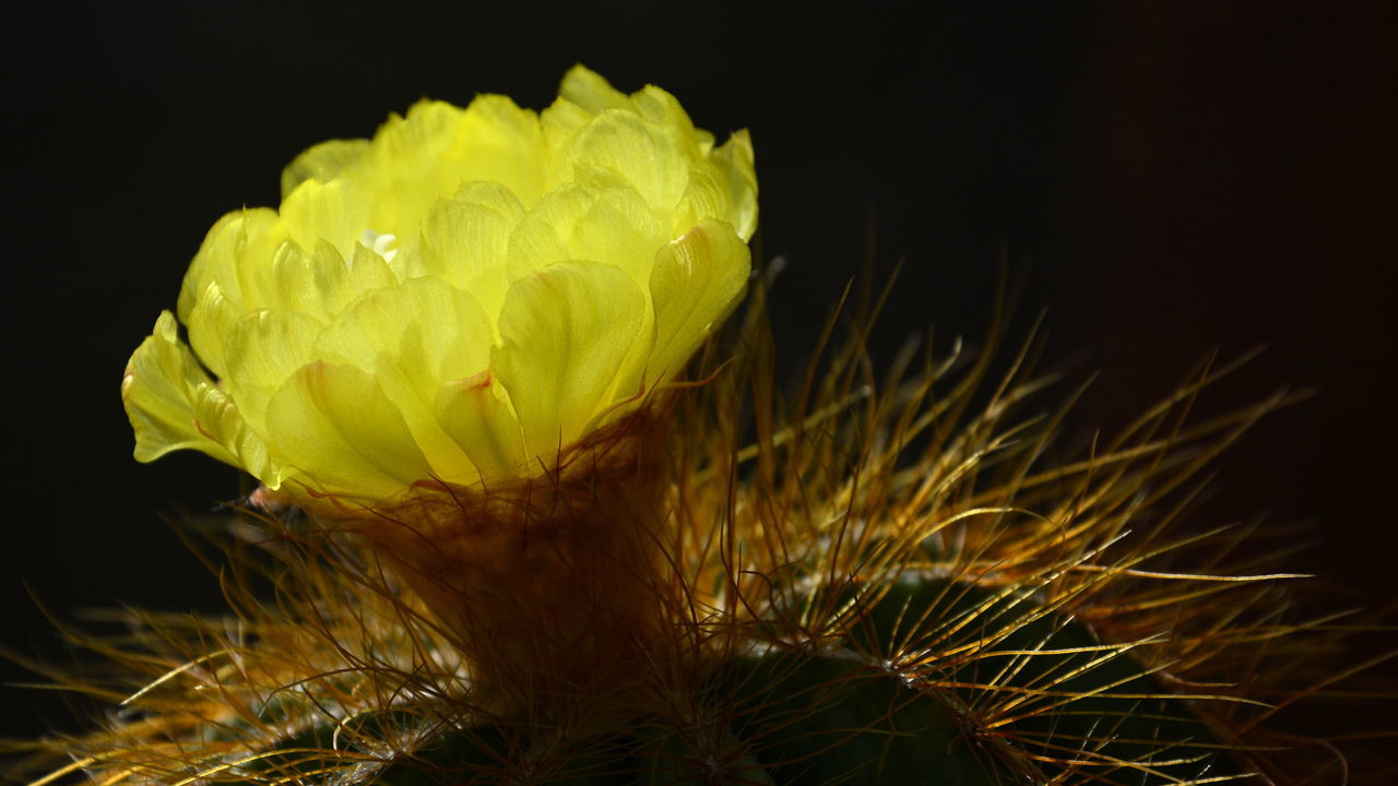 flower, petal, freshness, growth, fragility, beauty in nature, nature, flower head, close-up, plant, no people, studio shot, outdoors, yellow, blooming, day, black background