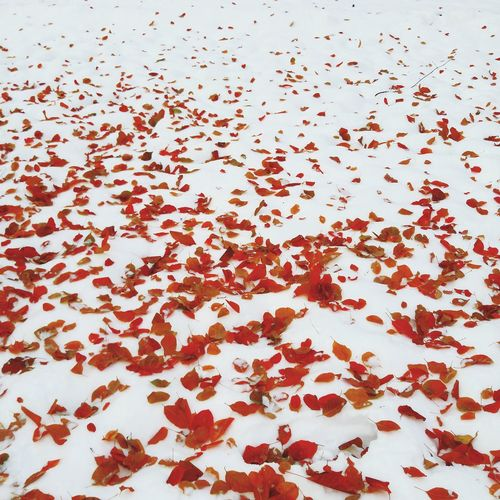 a rare and almost elusive contrast between scralet and spotless white Beautifully Organized White Tree Park Snowing Snow Vivid Red Backgrounds Scarlet VSCO Outdoors Day Nature White Background No People Outside Almaty City Almaty Almaty, Kazakhstan