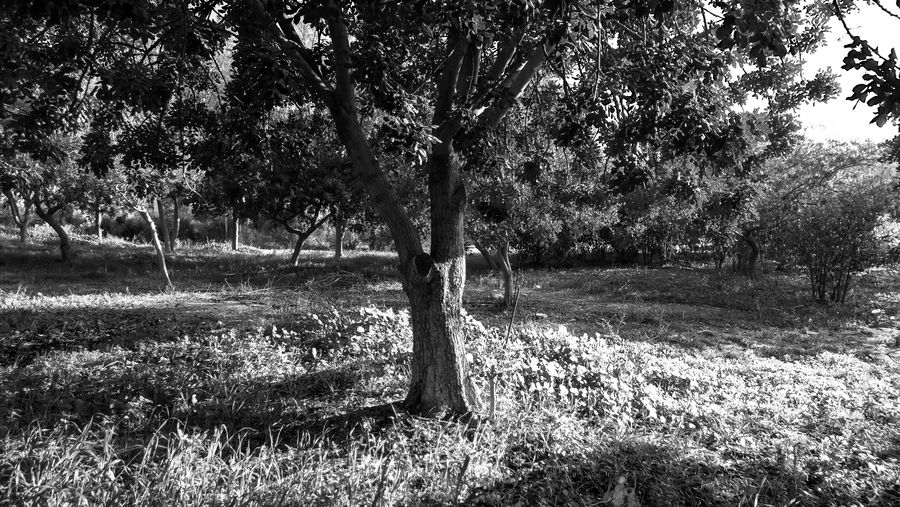 Tree Plant Grass Land Tranquility Field Nature Growth Day Landscape No People Beauty In Nature Tranquil Scene Environment Trunk Tree Trunk Outdoors Park Non-urban Scene Sunlight Blackandwhite Black And White EyeEm EyeEm Best Shots