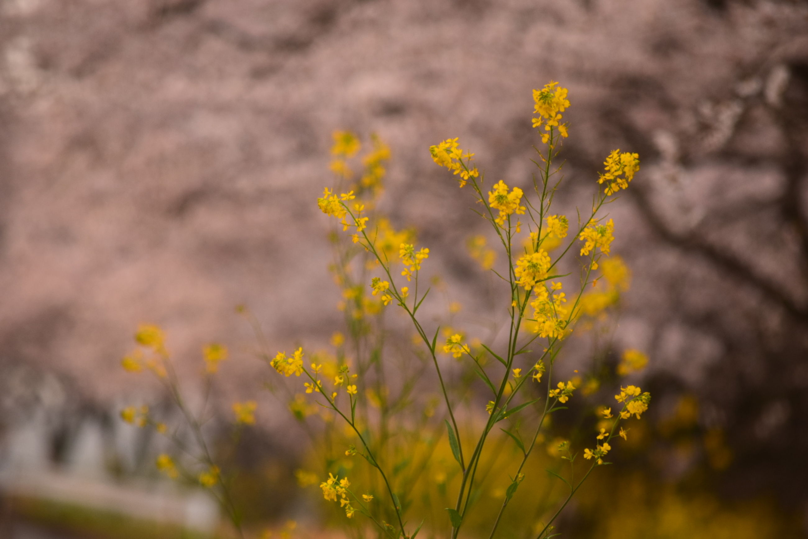 yellow, flower, growth, fragility, freshness, focus on foreground, beauty in nature, petal, plant, nature, selective focus, close-up, blooming, field, flower head, day, outdoors, stem, no people, in bloom
