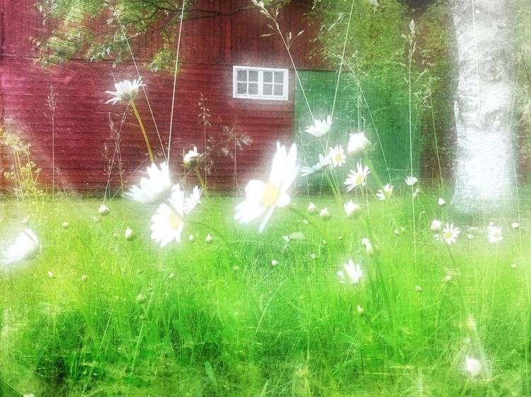 Daisies and red barns, that's my kingdom Flowers Taking Photos Days In June