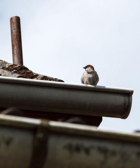 Bird Close-up Dach Day Drip Rail Focus On Foreground Nature Regenrinne Roof Selective Focus Singender Vogel Vogel
