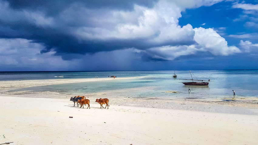 Morning walks EyeEm Best Shots EyeEm Nature Lover EyeEmNewHere Beach Africa Cow Beach Paradise Boats Ocean Blue Sea Sand Beach Cloud - Sky Nature Horizon Over Water Water Sky Outdoors Landscape Day Dog Scenics Beauty Beauty In Nature Animal Animal Themes Tranquility