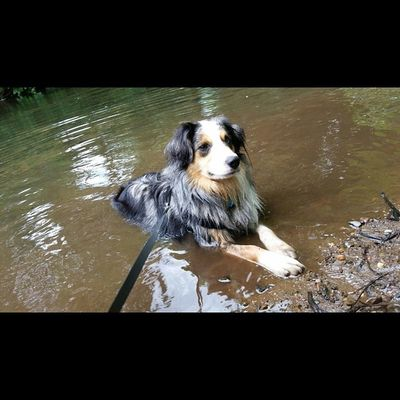 Such a good day to play in the water Waterpup Australianshepard Artsy Nofilter