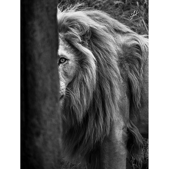 Toronto Kingofthejungle Canada Torontophotos Torontophotography Thetorontozoo Metrotorontozoo TorontoZoo Torontophoto Cat Zoo Animal Beauty Photography Photo Photooftheday Follow Instagood Instagram Instagramhub Insta Instagood Outdoor Beast Roar beautiful lion mufasa scar