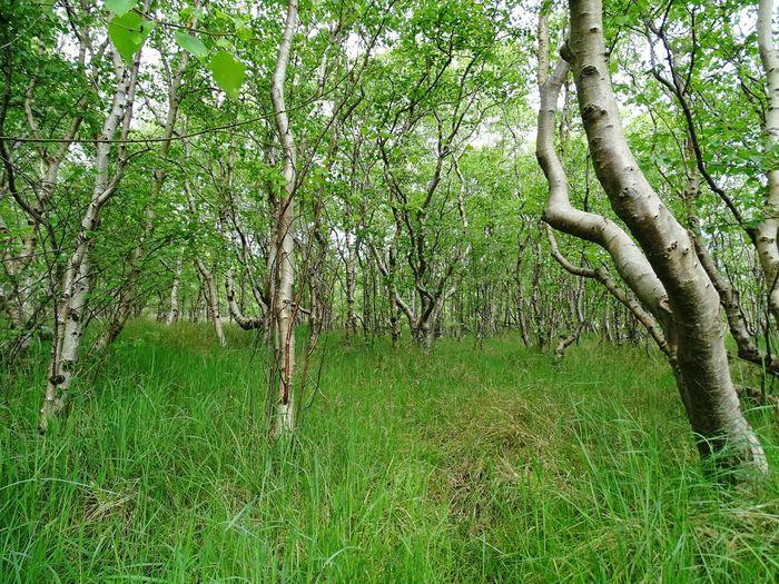 SONY DSC-HX400V Sweden Wildlife Nature Survive Tick Gnat Mosquito Nature's Diversities Birkenwald Birken Wald Wood Nature Spring Springtime Green Nature