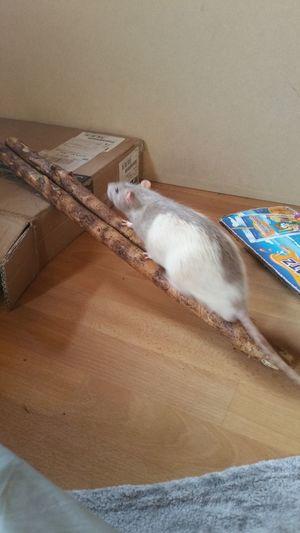 Kunststück üben Eyeem X Whitewall: Animals Rats Ratties Rattie Animals