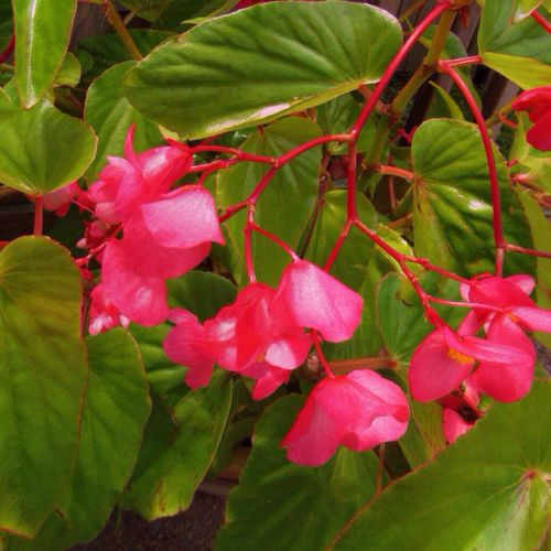Happy Thursday 🙋🏼 Begonia Flowering Plant Beauty In Nature Leaf Plant Part Flower Pink Color Close-up Fragility Nature