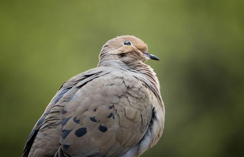 Birdy puffed up