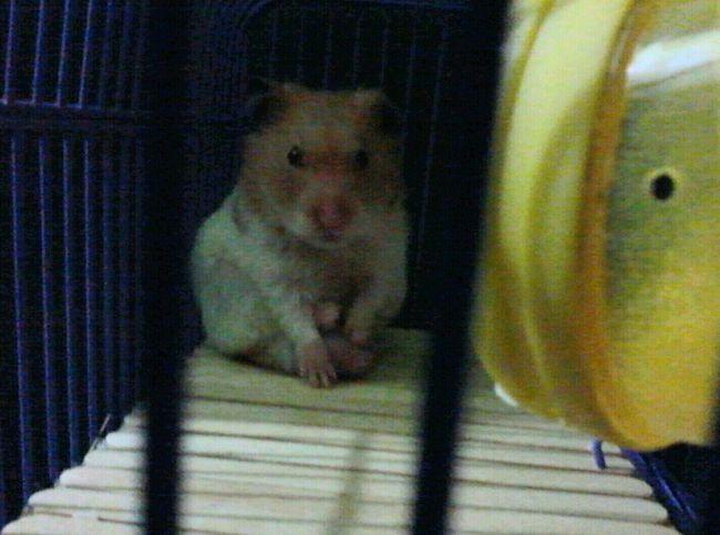 Meu ham ham <3 Thor, gordinho gostoso *-* Hamster ♡ My Hamster Hi! Animal Love