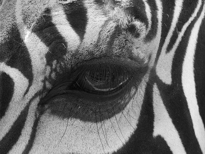 Cropped Image Of Zebra Eye