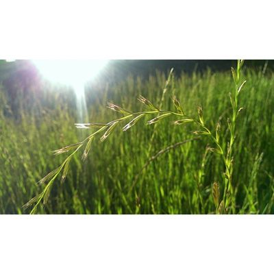 As beautiful as it is,it is the name of my existence at the moment,what with hay fever season in full swing Grass Spring Nature Sunlight Bokeh Springincapetown Cityofcapetown Igerscapetown Ig_capetown Instagood