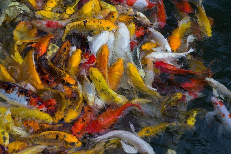 Koi fish swimming aggressively at pond Animal Animals ASIA Asian  Background Carp Colorful Cultivated Diversity Eat Feed  Feng Shui Fengshui  Fins Fish Fortune Garden Gold Golden Goldfish Japan Japanese  Koi Lucky Nature Orange Oriental Peaceful Pet Pond Pool Reflection Scales Surface Swim Swimming Underwater Wildlife Yellow Water Group Of Animals Animal Wildlife Animals In The Wild Animal Themes Koi Carp School Of Fish Vertebrate No People Marine Chaos