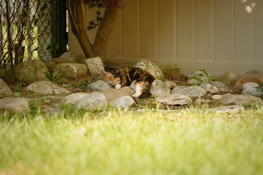 Domestic Feral Cat Cat Mammal Feline Vertebrate No People One Animal Calico Brown Black Color White Outside Cats Wide Shot Grass Pebble Rocks Backyard Relaxing Laying Down Animal Resting Plant Day Nature EyeEmNewHere