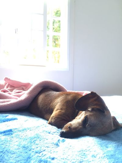 Aging Age Of Wisdom Dogslife Sleeping Dog Adorable Cute 14 Years Old Dogs Of EyeEm Senior Dog Sausagedog Dachshund Dog Photography EyeEm Gallery Relaxation Pets Mammal Domestic Animals Dog Indoors  Bed Window Sleeping Sunlight