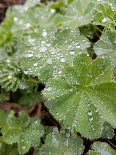 Frauenmantel Frauenmänteli Regen Rainy Days Raindrops Rain