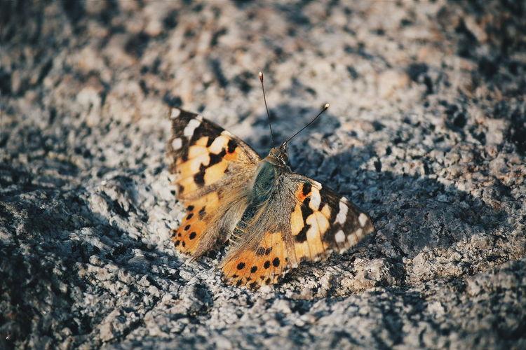 Plovdiv Bulgaria Butterfly Animal Nature