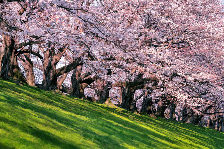 View of cherry blossom trees in sunlight