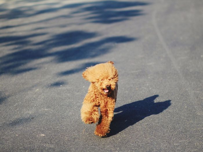 Dog running road