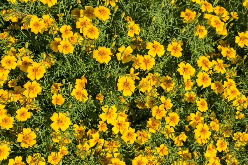 Yellow flower bed at Charlottenburg Palace Park in Berlin, Germany Beauty In Nature Berlin Blooming Charlottenburg Castle Charlottenburg Palace Color Image Directly Above Flower Flower Bed Flower Head Flowers Fragility Freshness Garden Germany🇩🇪 Growth Horizontal Nature No People Outdoors Park Petal Photography Yellow Yellow Color
