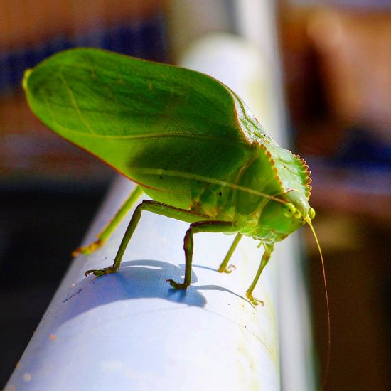 The Edge #greeneyes #peering Green Color Grasshopper No People Day Outdoors Nature